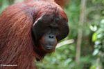 Adult male Borneo Orangutan (Pongo pygmaeus) at Pondok Tanggui (Kalimantan, Borneo - Indonesian Borneo) -- kali9668