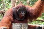Happy rehabilitated adult male Orangutan at Pondok Tanggui (Kalimantan, Borneo - Indonesian Borneo)