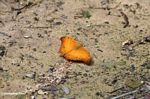 Orange butterfly in Borneo (Kalimantan, Borneo - Indonesian Borneo)