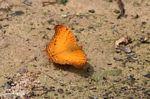 Orange butterfly on forest floor in Borneo (Kalimantan, Borneo - Indonesian Borneo)
