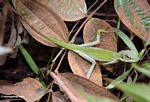 Green Crested Lizard (Bronchocela cristatella) (Kalimantan, Borneo - Indonesian Borneo)