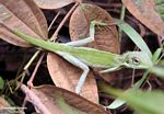 Green Tree Dragon (Bronchocela cristatella) (Kalimantan, Borneo - Indonesian Borneo)