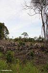 Cleared patch of rainforest (Kalimantan, Borneo - Indonesian Borneo)
