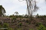 Rainforest that has been slash-and-burned in Borneo (Kalimantan, Borneo - Indonesian Borneo)
