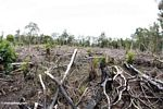 Section of rainforest that has been cut for small-scale agriculture in Borneo (Kalimantan, Borneo - Indonesian Borneo)