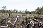 Remains of rainforest after it has been slash-and-burned (Kalimantan, Borneo - Indonesian Borneo)