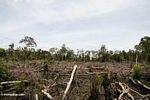 Slash-and-burn agriculture in the rainforest of Borneo (Kalimantan, Borneo - Indonesian Borneo)