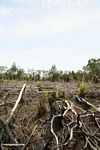 Slash-and-burn agriculture in the rain forest of Borneo (Kalimantan, Borneo - Indonesian Borneo)