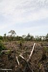 Slash-and-burn agriculture in the Borneo jungle (Kalimantan, Borneo - Indonesian Borneo)