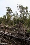 Charred forest remains from slash-and-burn agriculture (Kalimantan, Borneo - Indonesian Borneo)