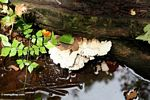 White fungi growing on rotting log (Kalimantan, Borneo - Indonesian Borneo)
