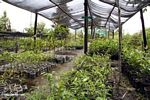 Tree seedlings at reforestation project in Tanjung Puting National Park (Kalimantan, Borneo - Indonesian Borneo)