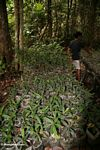 Seedlings at reforestation project in Tanjung Puting National Park (Kalimantan, Borneo - Indonesian Borneo)