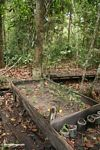 Sprouting seedlings at reforestation project in Tanjung Puting National Park (Kalimantan, Borneo - Indonesian Borneo)