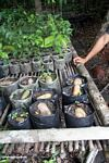 Seedlings taking root at reforestation project in Tanjung Puting National Park (Kalimantan, Borneo - Indonesian Borneo)