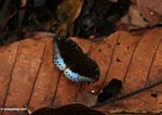 Black butterfly with blue wing sections, resting on a fallen leaf on the forest floor (Kalimantan, Borneo - Indonesian Borneo)