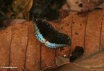 Black butterfly with blue posterior wing sections, resting on a fallen leaf (Kalimantan, Borneo - Indonesian Borneo)