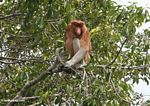 Adult male Proboscis monkey (Kalimantan, Borneo - Indonesian Borneo)