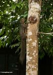 Borneo forest squirrel with orangish belly anda black band along its flank (Kalimantan, Borneo - Indonesian Borneo)