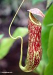 Red pitcher plant (Nepenthes rafflesiana) (Kalimantan, Borneo - Indonesian Borneo) -- kali9840a