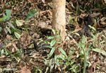 Water monitor (Varanus salvator) in the forest (Kalimantan, Borneo - Indonesian Borneo)
