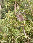 Crab-eating monkey (Macaca fascicularis) in a fruit tree (Kalimantan, Borneo - Indonesian Borneo)