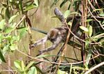 Java monkey (Macaca fascicularis) reaching (Kalimantan, Borneo - Indonesian Borneo)