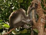 Long-tailed macaques grooming (Kalimantan, Borneo - Indonesian Borneo)