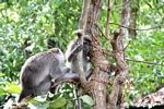 Long-tailed macaque looking for parasites in the fur of its partner (Kalimantan, Borneo - Indonesian Borneo)