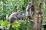 Long-tailed macaque picking through the fur of another macaque (Kalimantan, Borneo - Indonesian Borneo)