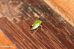 Green and brown bug or beetle (Kalimantan, Borneo - Indonesian Borneo)