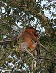 Proboscis monkeys huddled in fruit tree (Kalimantan, Borneo - Indonesian Borneo)