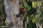 Female proboscis monkey in tree (Kalimantan, Borneo - Indonesian Borneo)