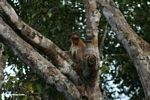 Proboscis monkey in tree (Kalimantan, Borneo - Indonesian Borneo)