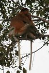 Proboscis monkeys huddled in tree (Kalimantan, Borneo - Indonesian Borneo)