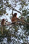 Adult male proboscis monkey with baby (Kalimantan, Borneo - Indonesian Borneo)