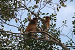 Adult male and baby proboscis monkeys in a canopy tree along the Seikonyer River (Kalimantan, Borneo - Indonesian Borneo)