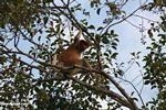 Dominant adult male proboscis monkey in a canopy tree along the Seikonyer River (Kalimantan, Borneo - Indonesian Borneo)