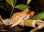 Tree frog in the Borneo rain forest (Kalimantan, Borneo - Indonesian Borneo)
