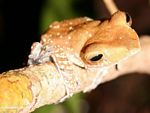 Tree frog in the Borneo jungle (Kalimantan, Borneo - Indonesian Borneo)