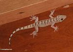 Gecko lizard species with black markings (Kalimantan, Borneo - Indonesian Borneo)