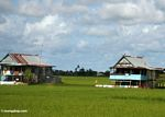 Sulawesi homes surrounded by rice fields (Sulawesi - Celebes)