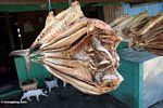 Dried fish split in half (Sulawesi - Celebes)