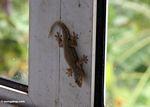 House gecko in Sulawesi (Sulawesi - Celebes)
