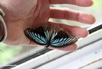 Iridescent blue and black butterfly in hand (Sulawesi - Celebes)