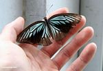 Iridescent turquoise and black butterfly in hand (Sulawesi - Celebes) -- sulawesi6482