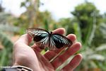 Iridescent turquoise and black butterfly in hand (Sulawesi - Celebes)