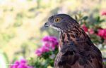 Sulawesi Hawk eagle (Spizaetus lanceolatus) (Sulawesi - Celebes)