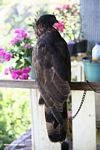 Captive Sulawesi Hawk eagle (Sulawesi - Celebes)