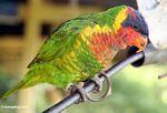 Lorikeet (Sulawesi - Celebes) -- sulawesi6553